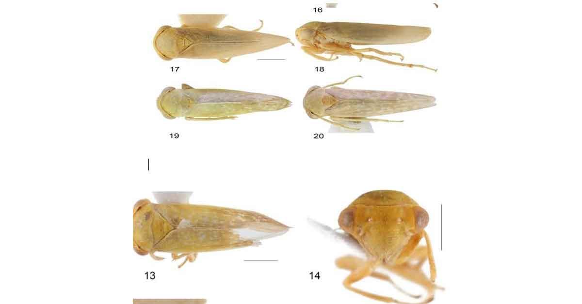 Bu böcek dünyada ikinci, Türkiye'de ilk defa görüldü