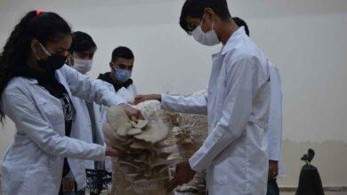 Photo of Urfa'da istiridye mantarlarının hasadına başladı