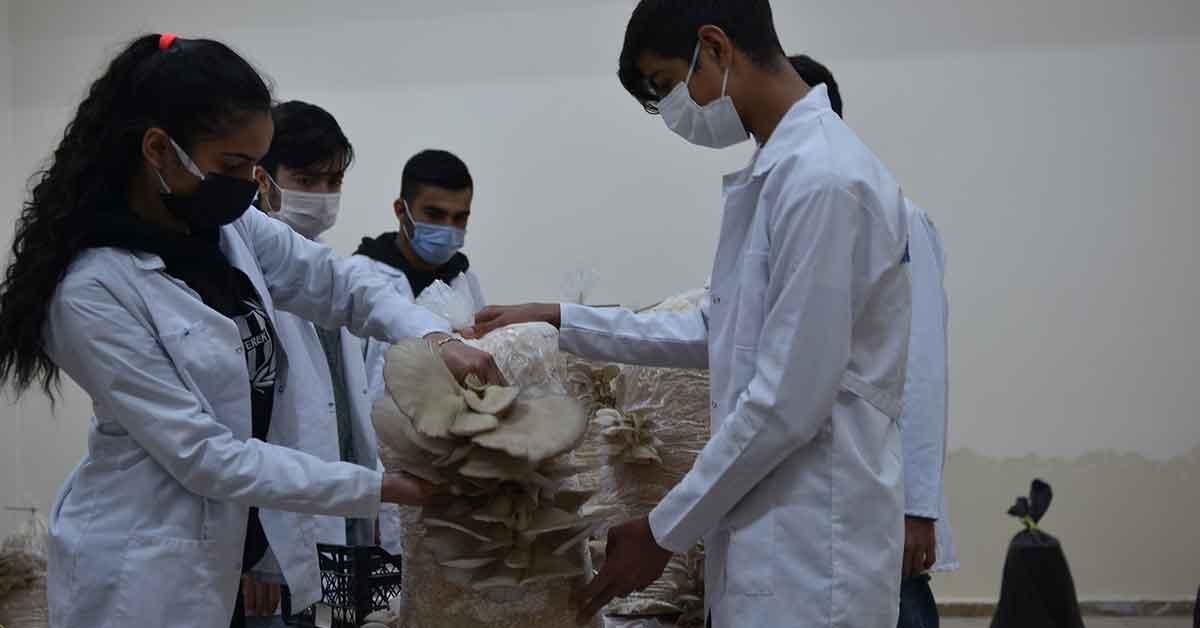 Urfa'da öğrenciler ürettikleri istiridye mantarlarının hasadına başladı
