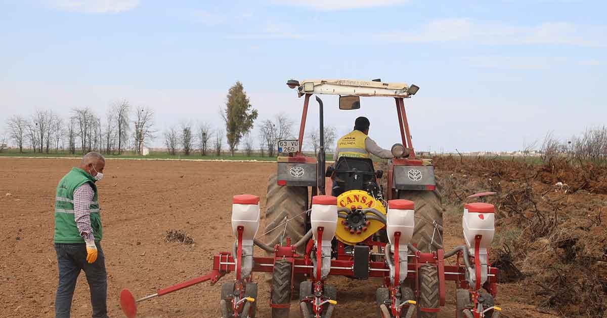 Şanlıurfa yerli tohumlarla kendi biberini yetiştiriyor