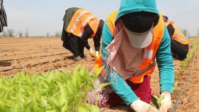 Photo of Şanlıurfa yerli tohumlarla kendi biberini yetiştiriyor