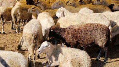 Photo of Şanlıurfa'da bulunan koyun sayısı belli oldu