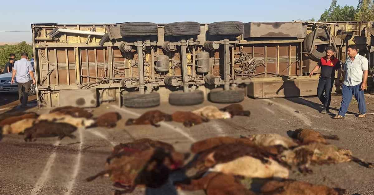 Şanlıurfa'da 42 Kuçükbaş Hayvan telef oldu
