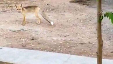 Photo of Şanlıurfa'da gündüz gözüyle tilki