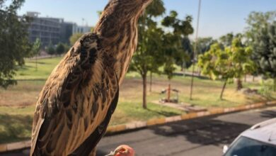 Photo of Urfa'da görüldü! Bu kuşun nesli tükeniyor!