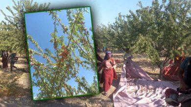 Photo of Urfa'nın Badem Deposunda Hasat Başladı